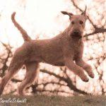 Royal Rubys Irish Terrier